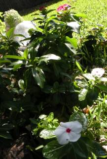 Shirley's  vinca's  she planted in May.jpg