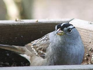 white_crowned_sparrow.jpg