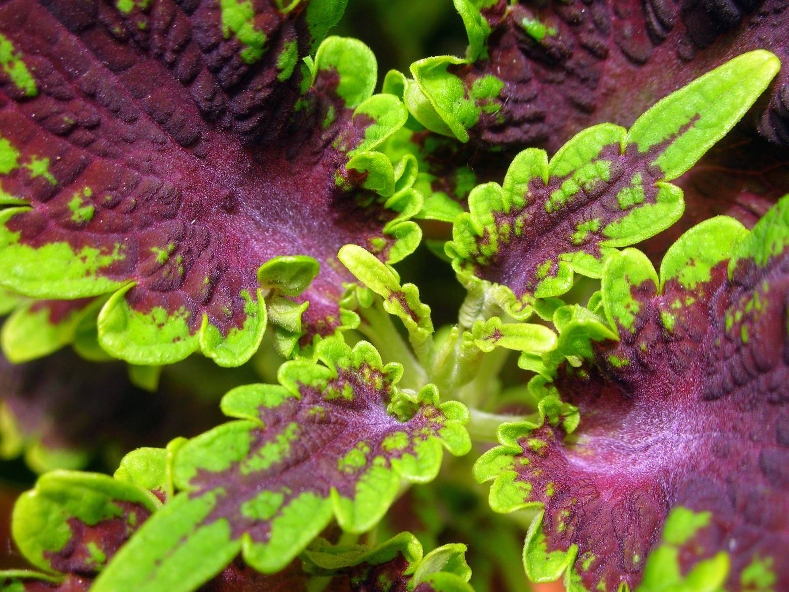 Coleus Plant - Source: FreeImages.com/V Fouche
