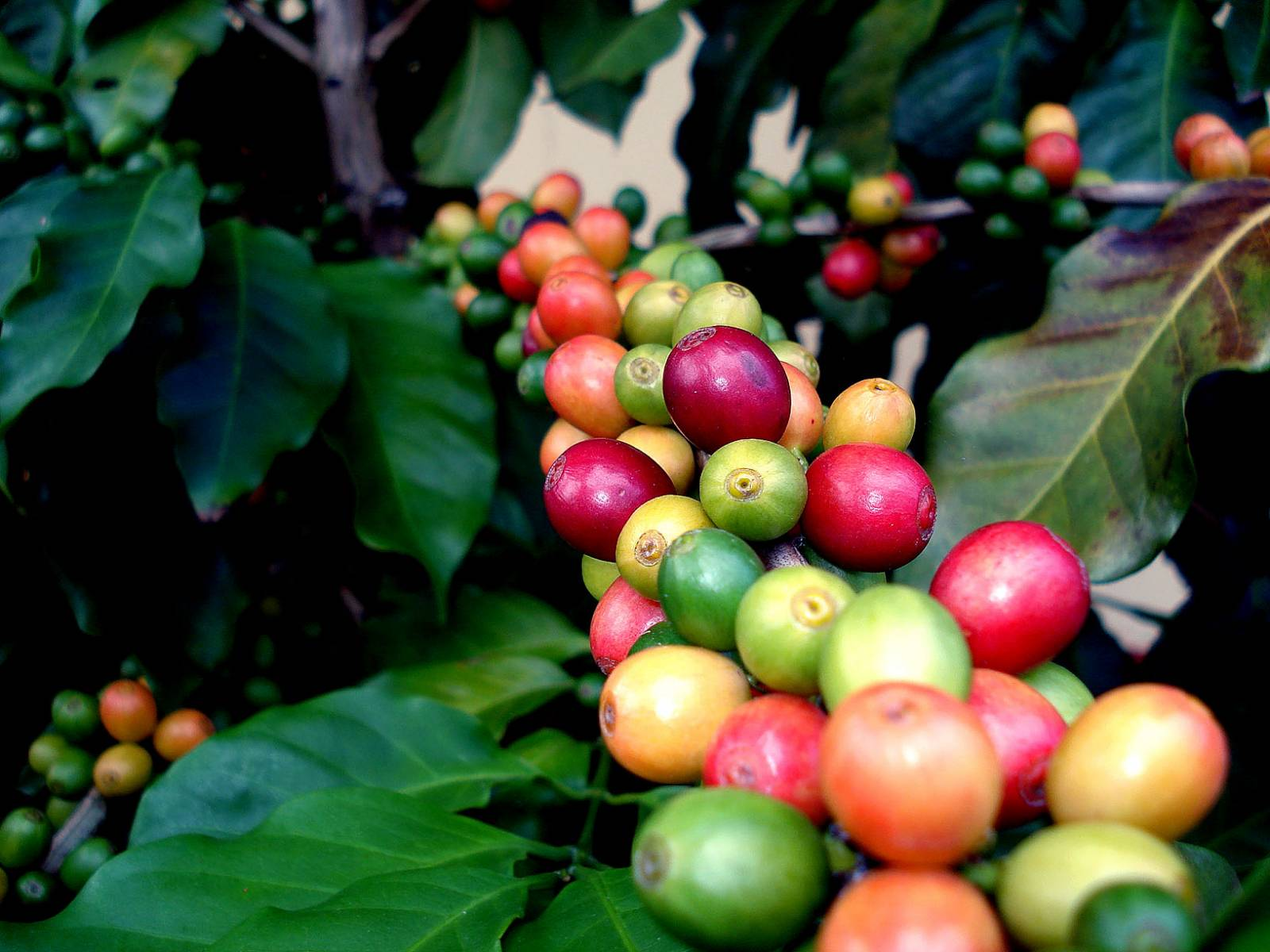 Coffee Tree - Source: FreeImages.com/Eziquel (zick) Boita